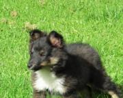 Cute Shetland Sheepdog Puppies Available