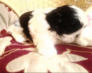 Beautiful Shih Tzu Puppies Available Now