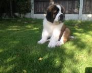 10 Weeks Old Saint Bernard Puppies Available