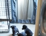 NJHFDK Whippet Puppies Available Now