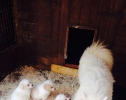 Akc Reg Samoyed Puppies Available Now