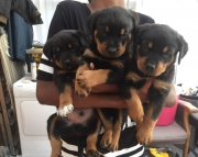 BNMI Rottweiler Puppies Available Now