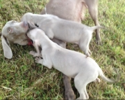 HJJGBD Weimaraner Puppies Available Now