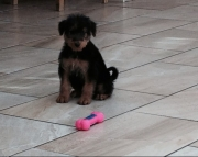 HJBY Airedale Terriers Puppies Available...