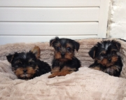 T-Cup Yorkshire Terrier Puppies Ready