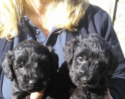 Awesome Schnoodle Puppies Available Now