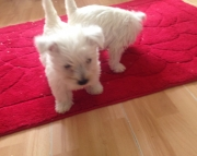 SADFR West Highland Terrier Puppies Available Now