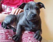 Blue Staffordshire Bull Terrier Pupies Available