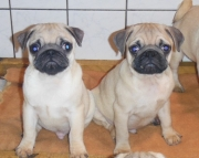 Stunning Pug Puppies Available Now