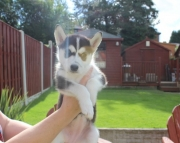Blue Eyes Siberian Husky Puppies Available Now