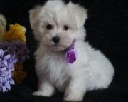selfless Boston Terrier puppies
