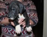 responsible  Boston Terrier puppies