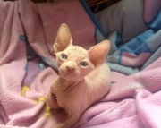 5efficient Sphynx kitten for sale