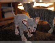 dynamic Sphynx kitten for sale