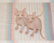 Amazing Sphynx kitten for sale