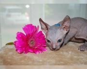 5dynamic Sphynx kitten for sale