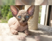 5.bright Sphynx kitten for sale