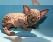 charming Sphynx kitten for sale