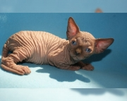 6bright Sphynx kitten for sale
