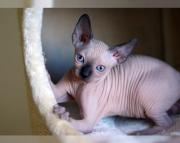 5Amazing Sphynx kitten for sale