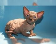 determined Sphynx kitten for sale