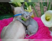 .bright Sphynx kitten for sale