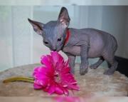 5.charming Sphynx kitten for sale