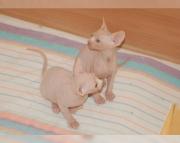 energetic Sphynx kitten for sale