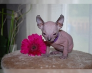 3bright Sphynx kitten for sale