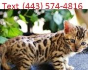 Cyd Bengal Kittens