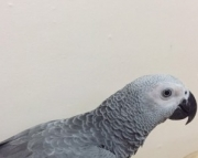 O African grey parrot for sale