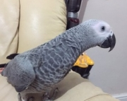 Friendly African grey parrot for sale