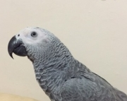 L African grey parrot for sale