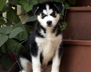 PV.Siberian husky puppies for sale