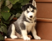 KM.Siberian husky puppies for sale