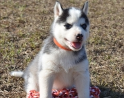 Sberian husky puppies for sale