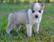 S M.Siberian husky puppies for sale