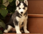 PP.Siberian husky puppies for sale