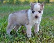 PU.Siberian husky puppies for sale