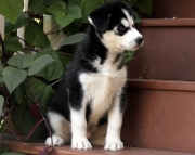 K .Siberian husky puppies for sale