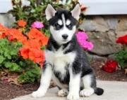 R .Siberian husky puppies for sale