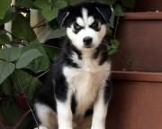 S V.Siberian husky puppies for sale