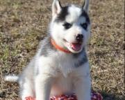S F.Siberian husky puppies for sale