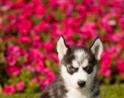 PX.Siberian husky puppies for sale