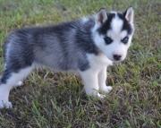 SH.Siberian husky puppies for sale
