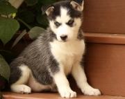 Superb Siberian husky puppies for sale