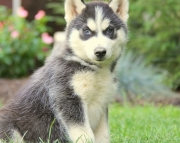 JK.Siberian husky puppies for sale