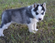 HN.Siberian husky puppies for sale