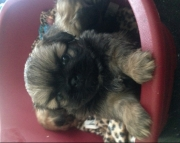 RT.Pekingese puppies for sale