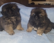 DZ.Pekingese puppies for sale